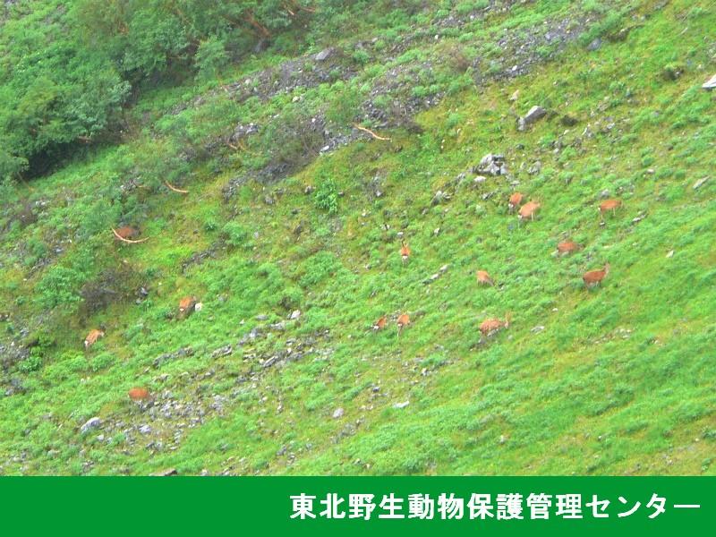 高山帯で植生被害を起すニホンジカの群れ