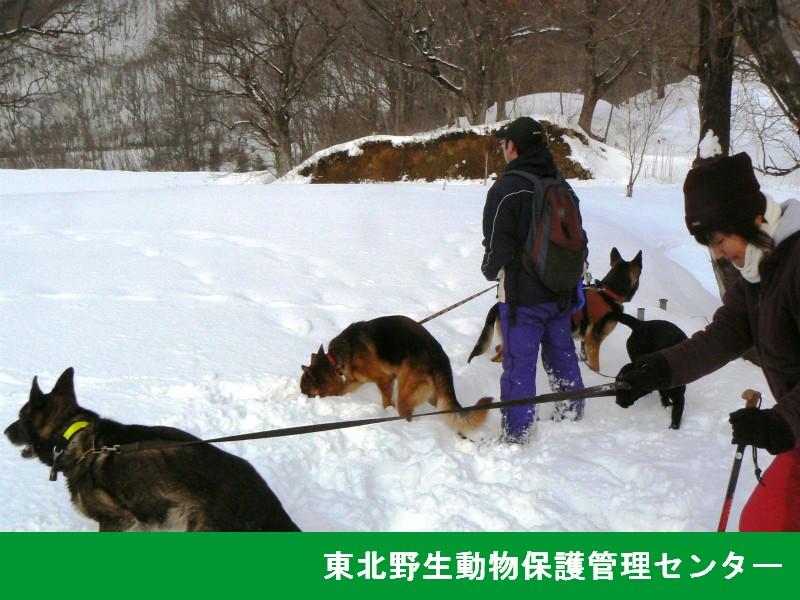 サル追い犬を用いた追い上げ(宮城県委託業務)